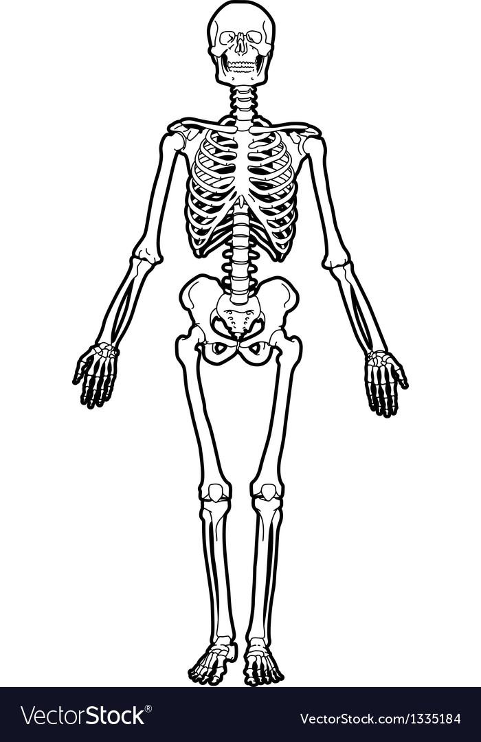 Human Skeleton Royalty Free Vector Image Vectorstock