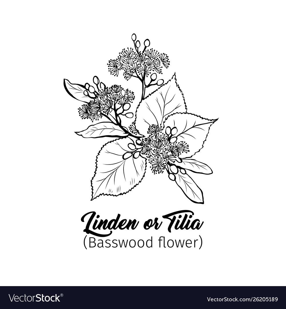 Linden blossom black ink