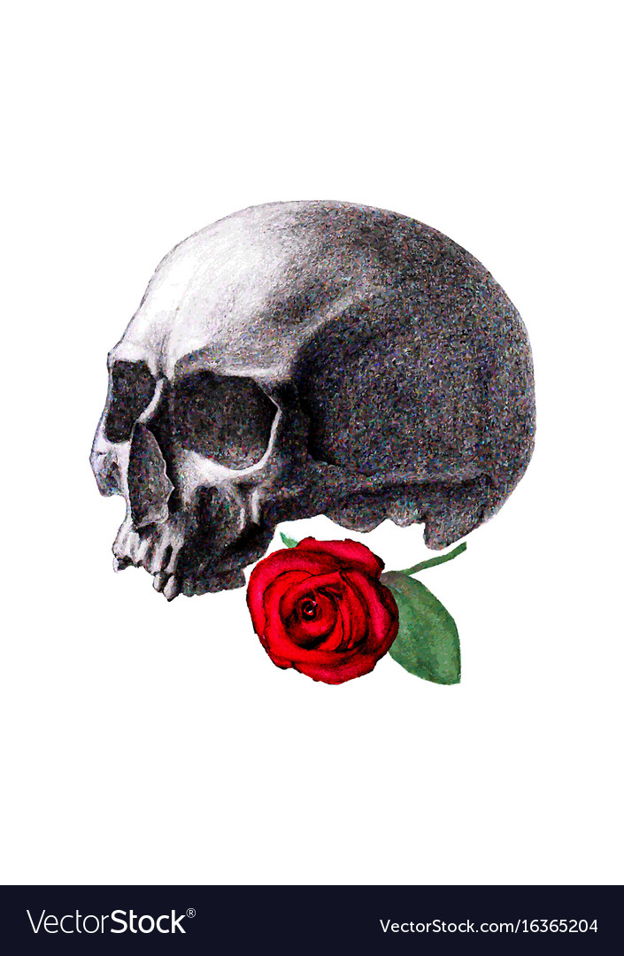 Human skull and red rose isolated