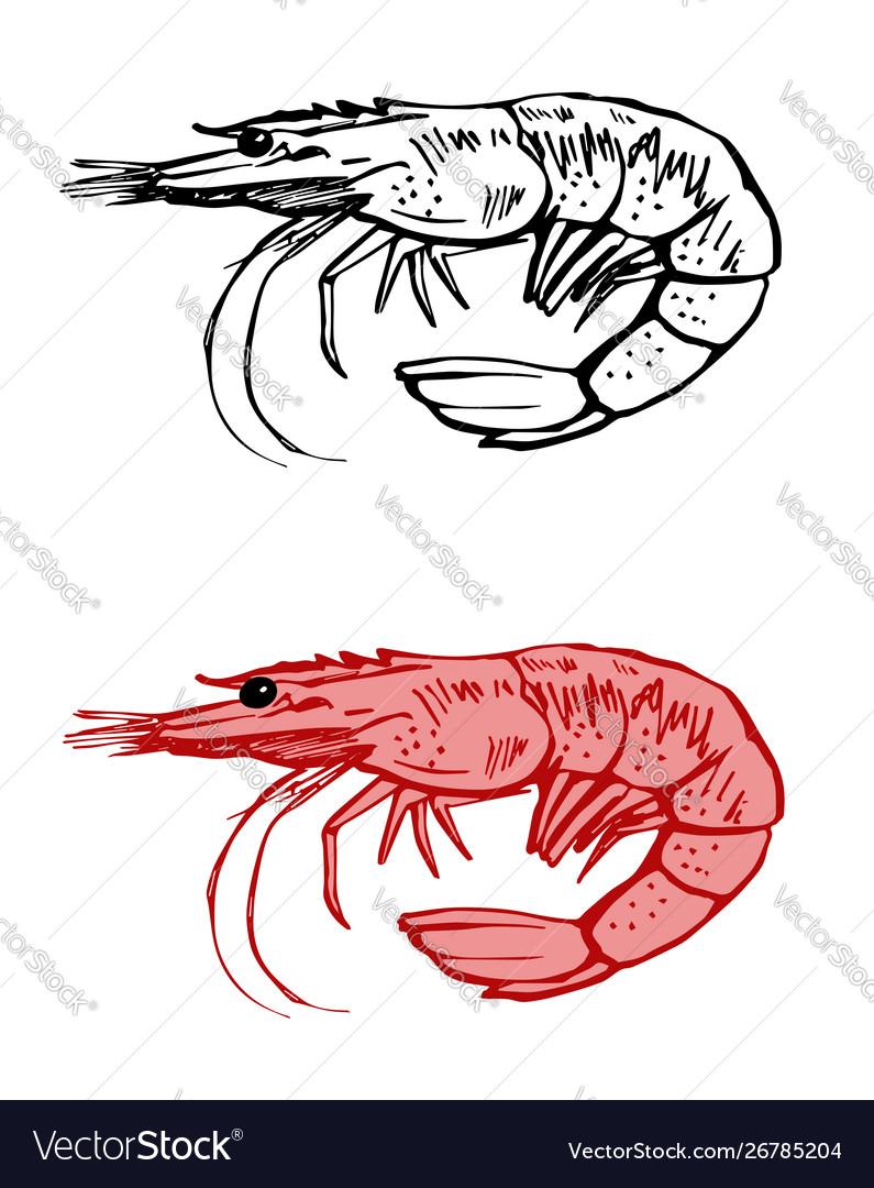 Shrimp contour drawing