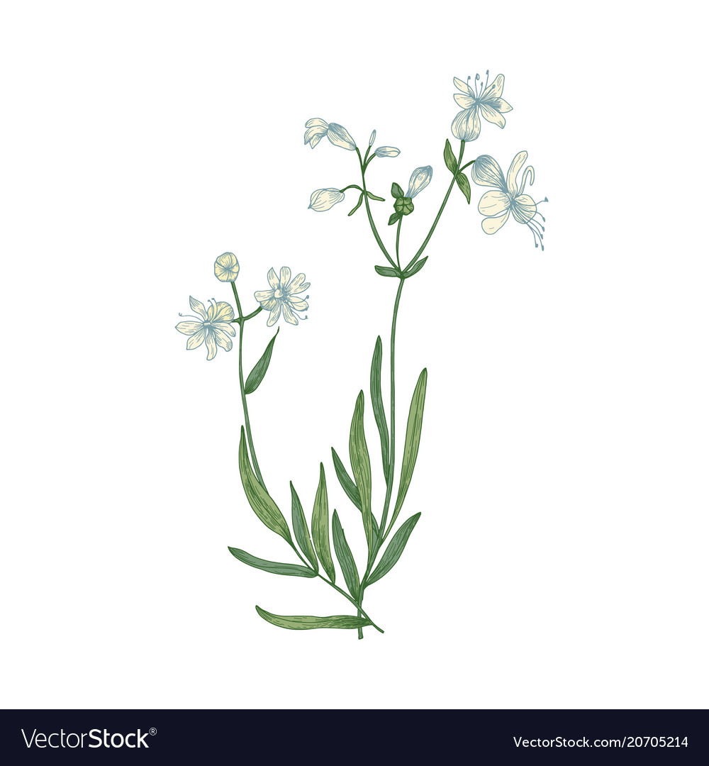 Beautiful botanical drawing of silene vulgaris or