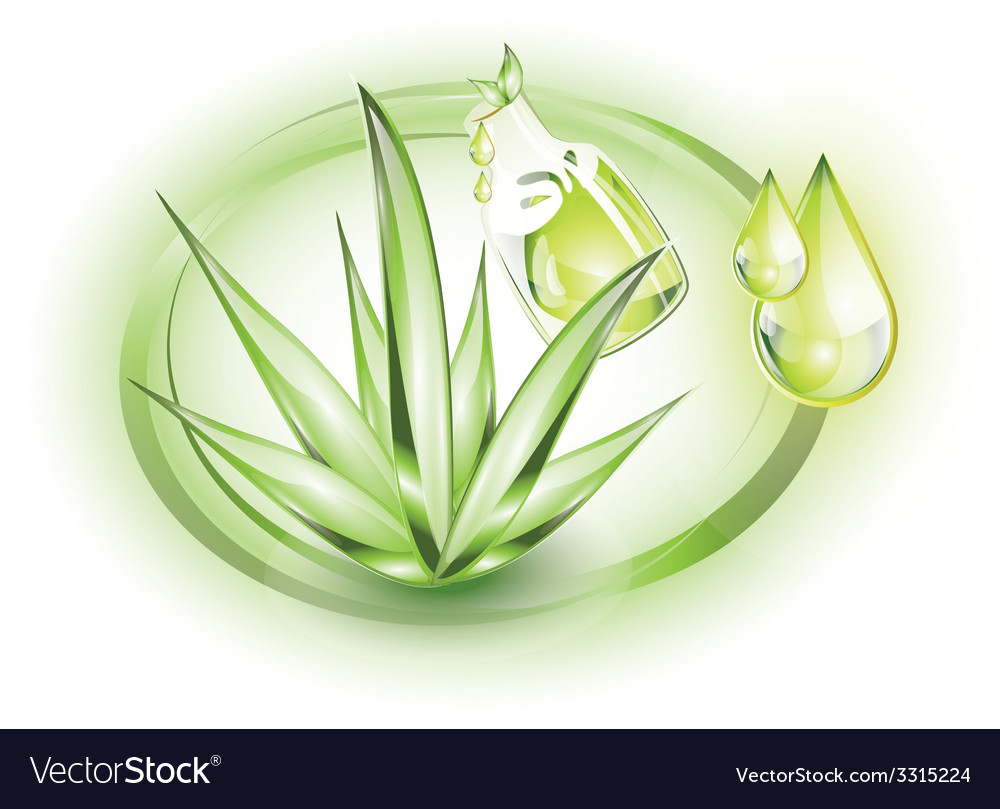 Aloe vera plant with small extract oil drops