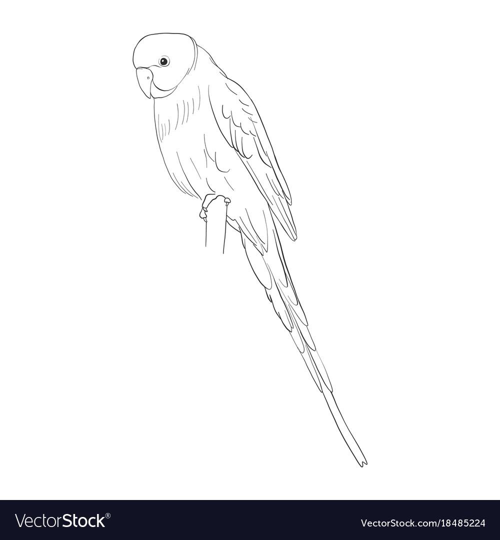 Sketch budgerigar