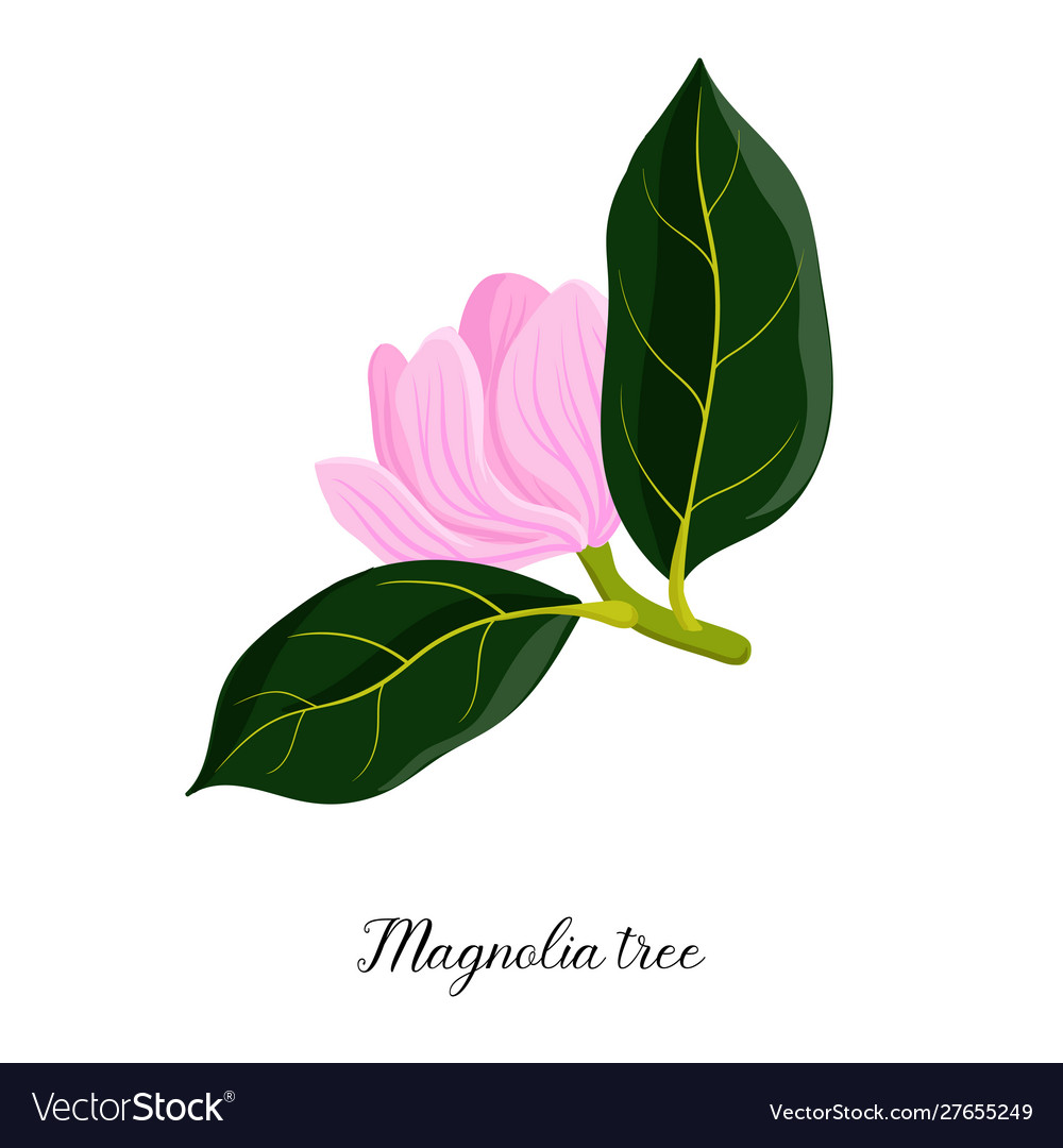 Drawing branch magnoila tree