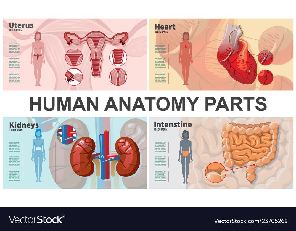 Cartoon human organs composition