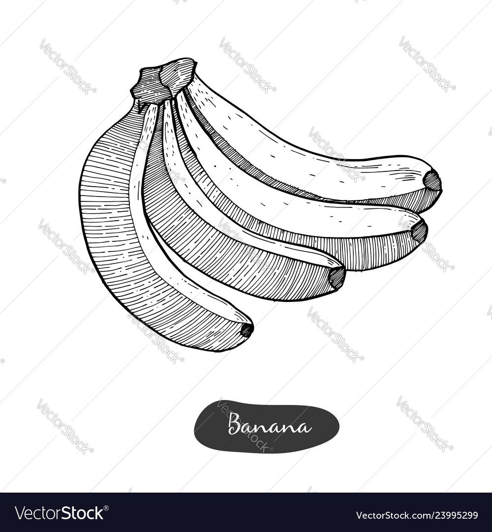 Bananas sketch detailed botanical
