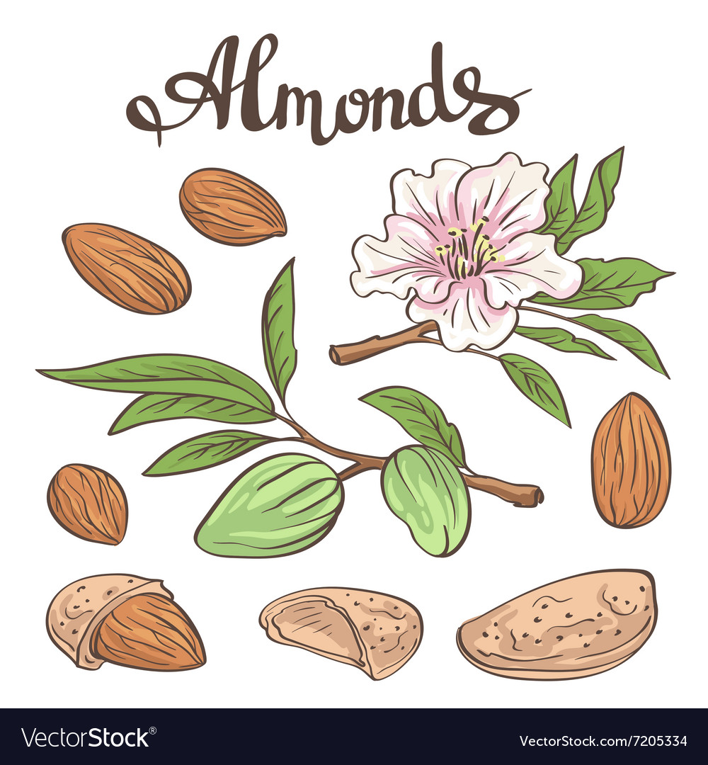 Almonds with kernels leaves and flower