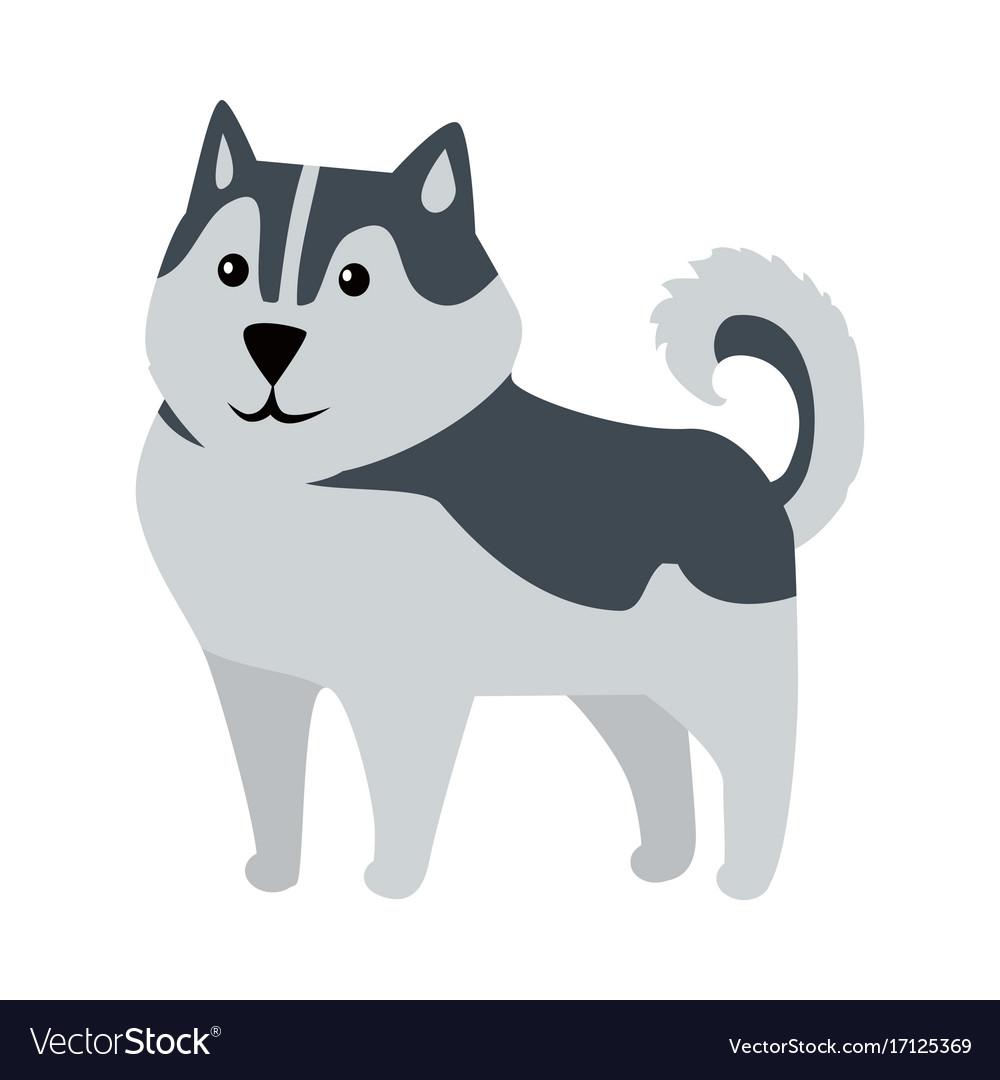 Siberian husky medium size dog breed isolated vector image