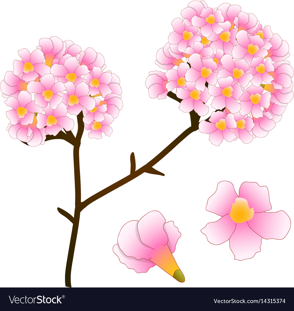 Pink trumpet flower tree isolated on white vector image mightylinksfo