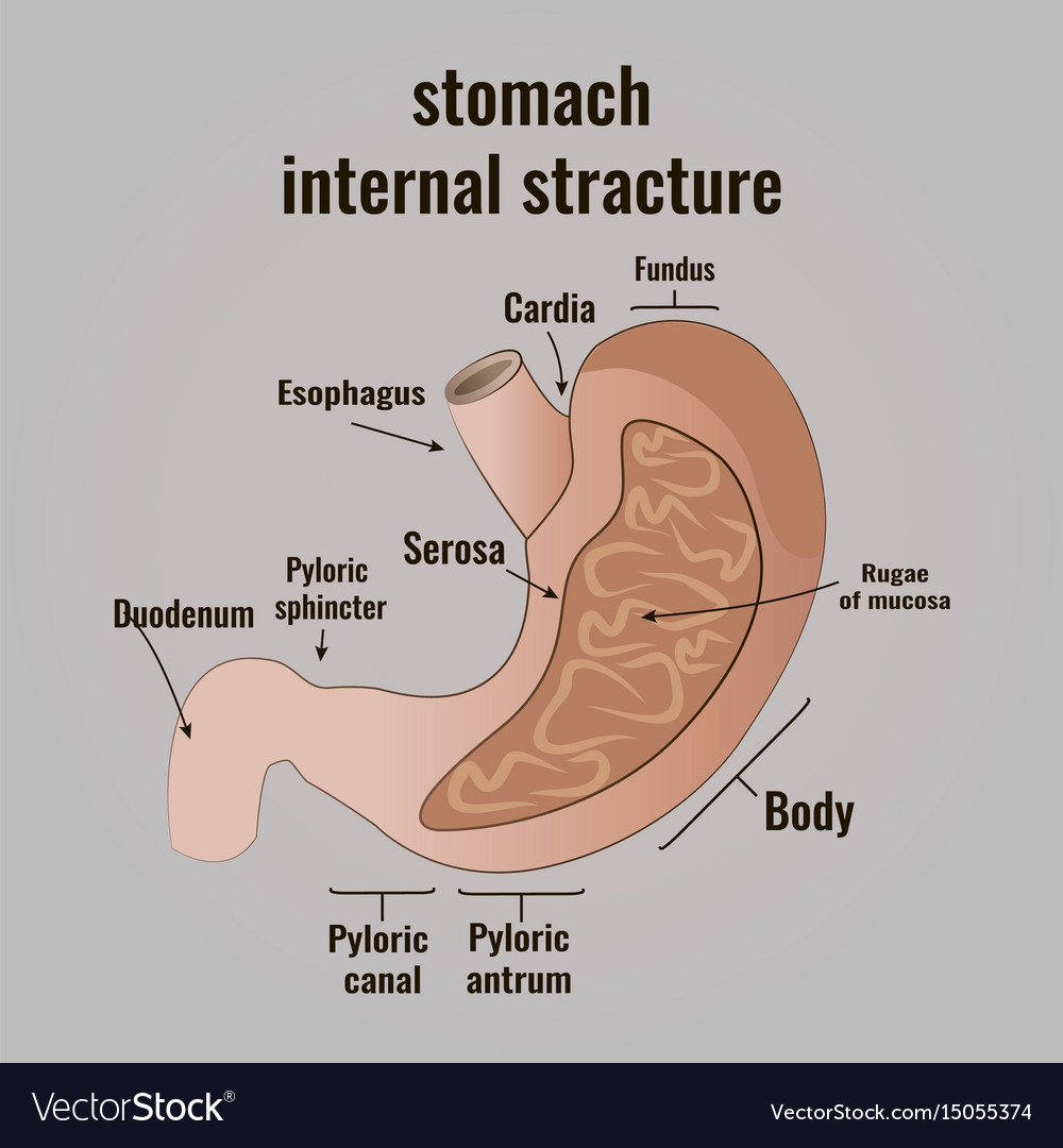 The anatomy of the human stomach