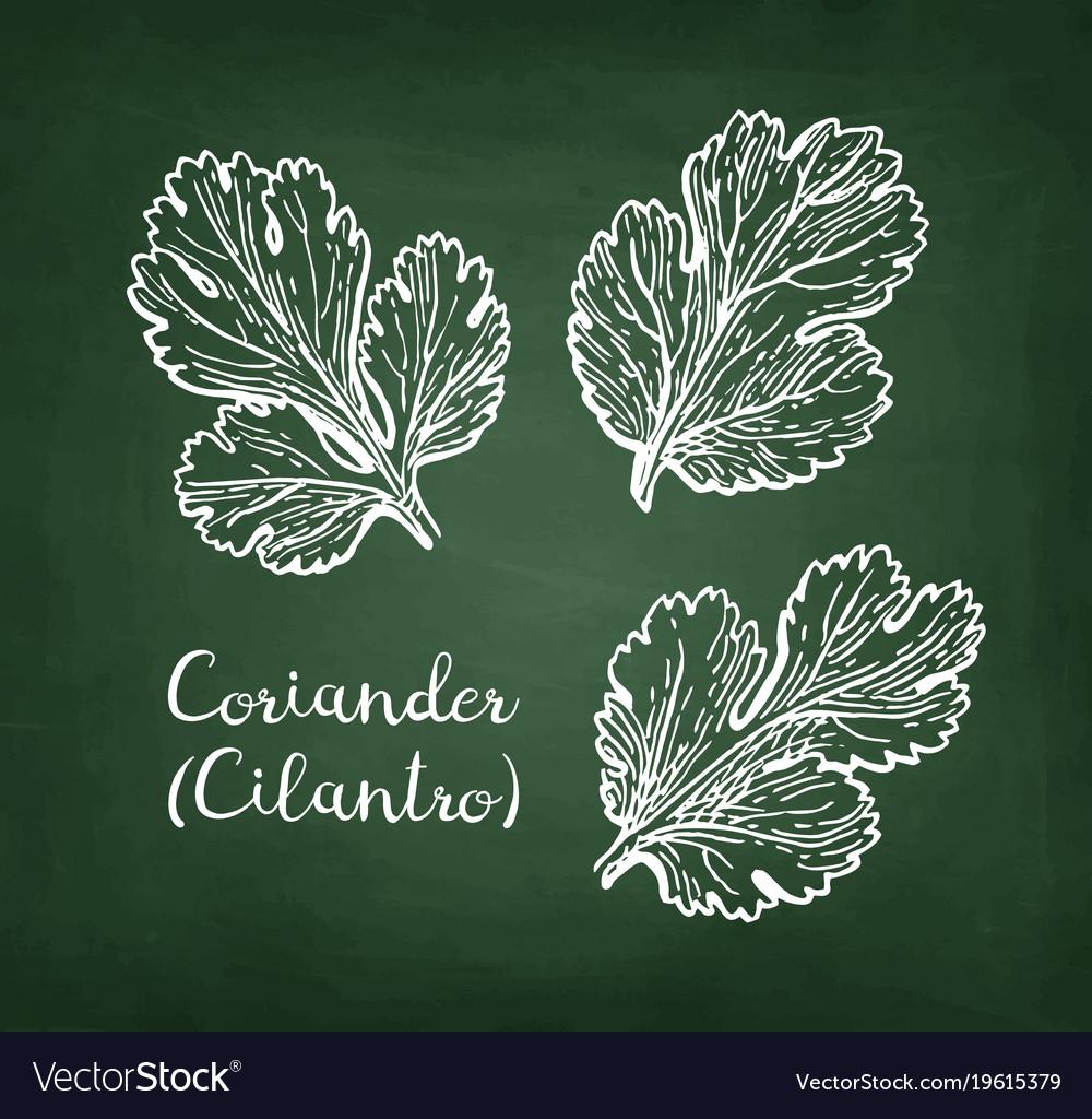 Coriander chalk sketch