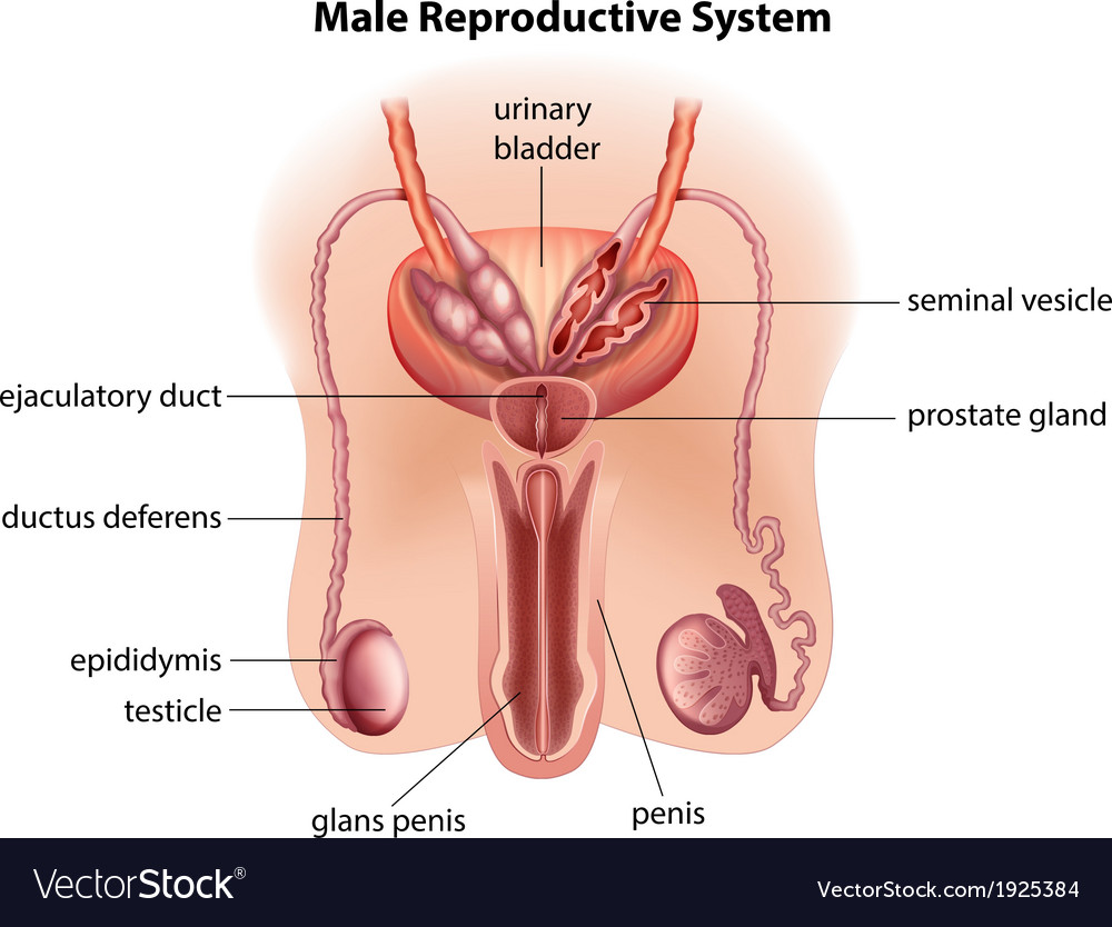 Anatomy Of The Male Reproductive System Royalty Free Vector