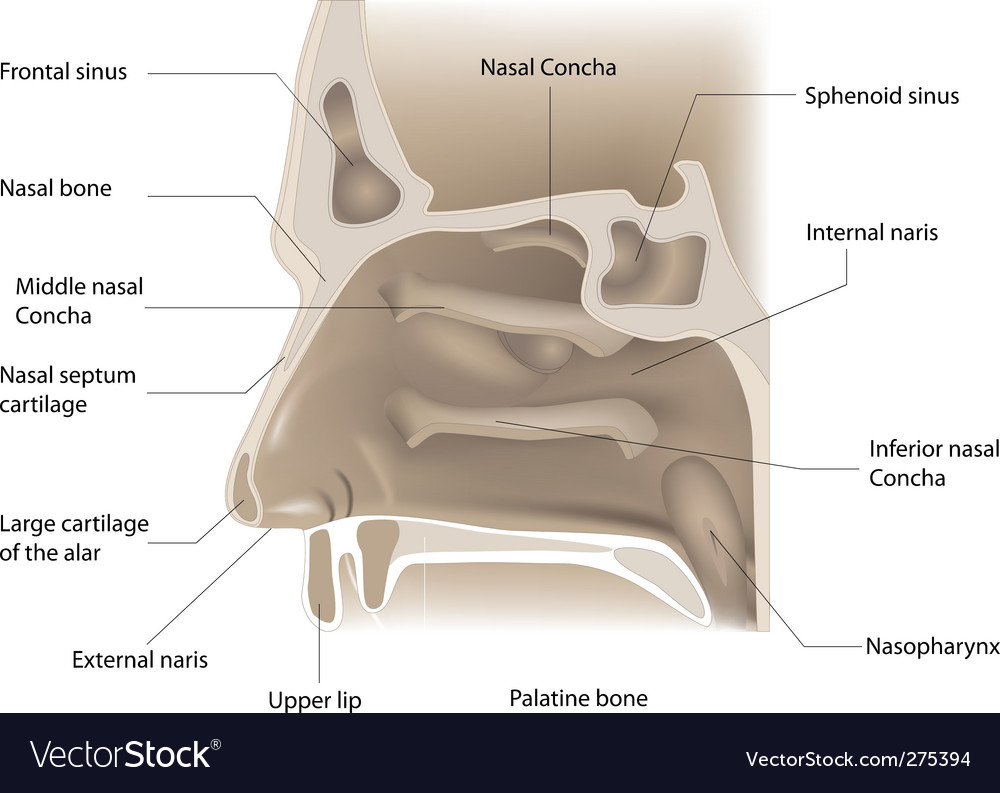 Sinus & Anatomy Vector Images (46)