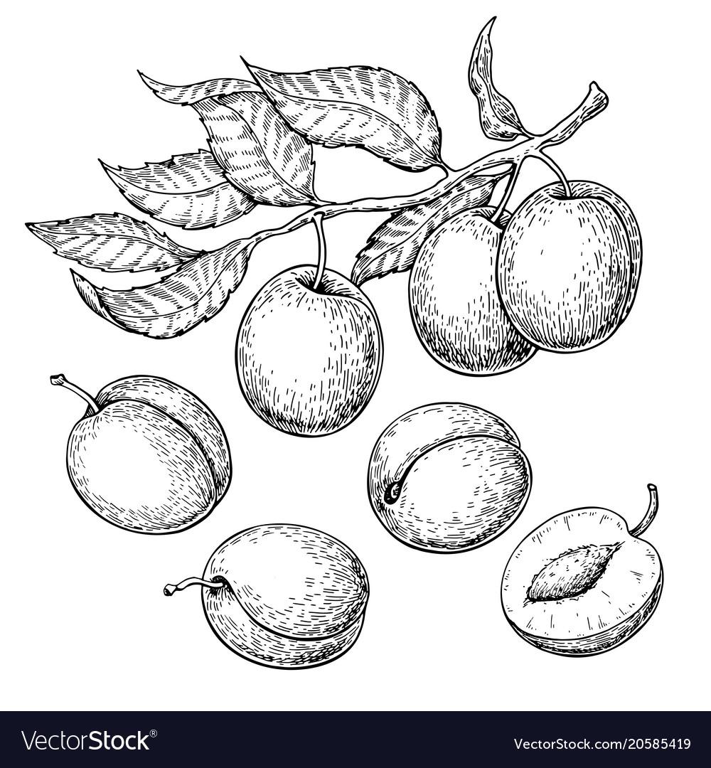 Plum drawing set hand drawn fruit branch