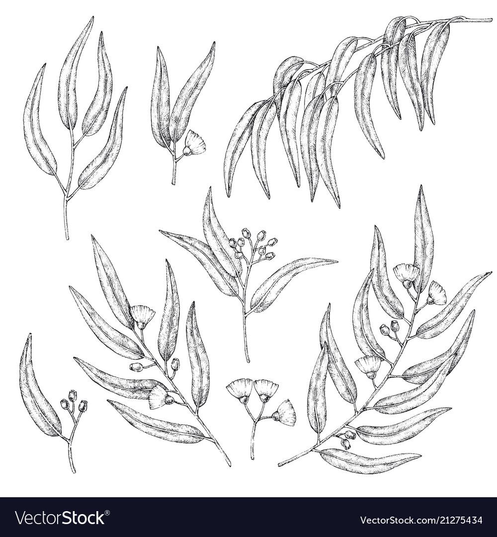 Collection of eucalyptus branches sketch