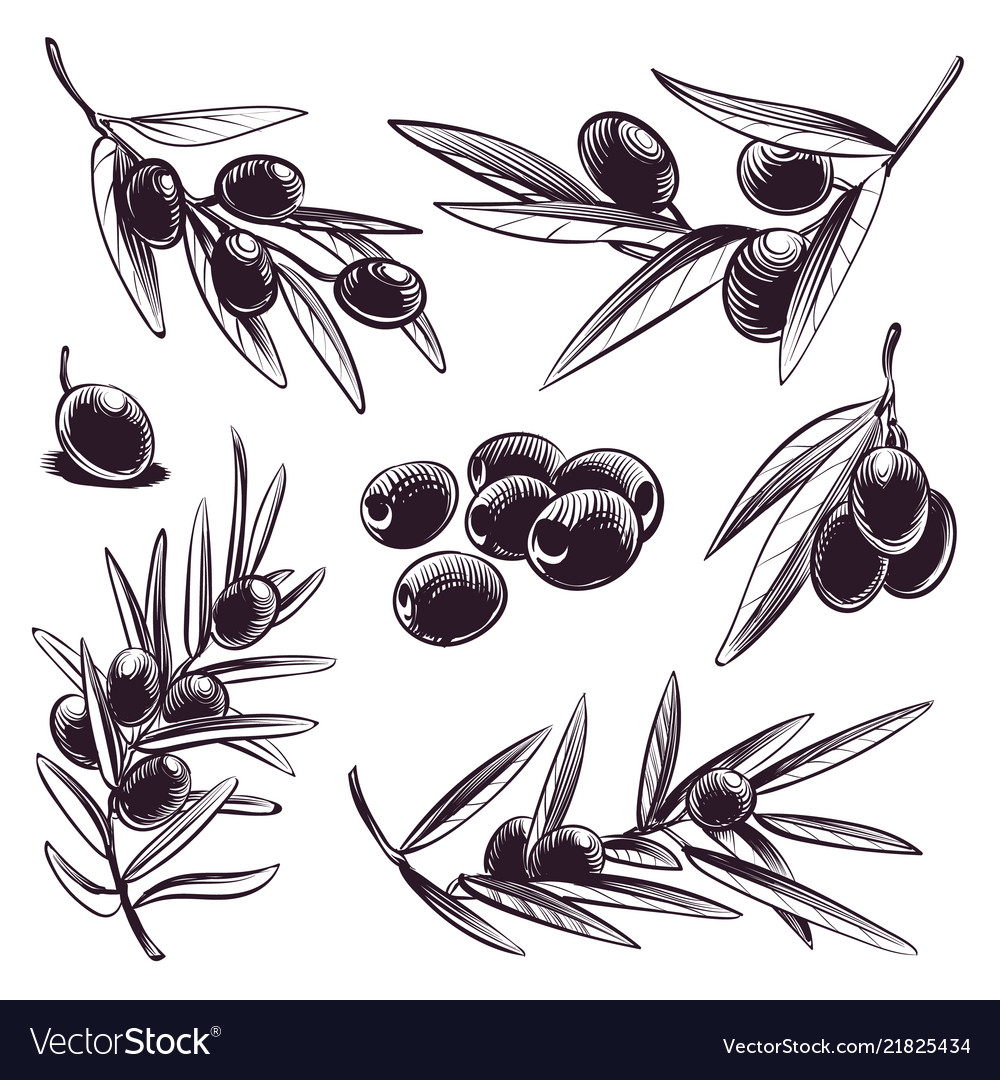 Hand drawn olive tree brunches with olives and