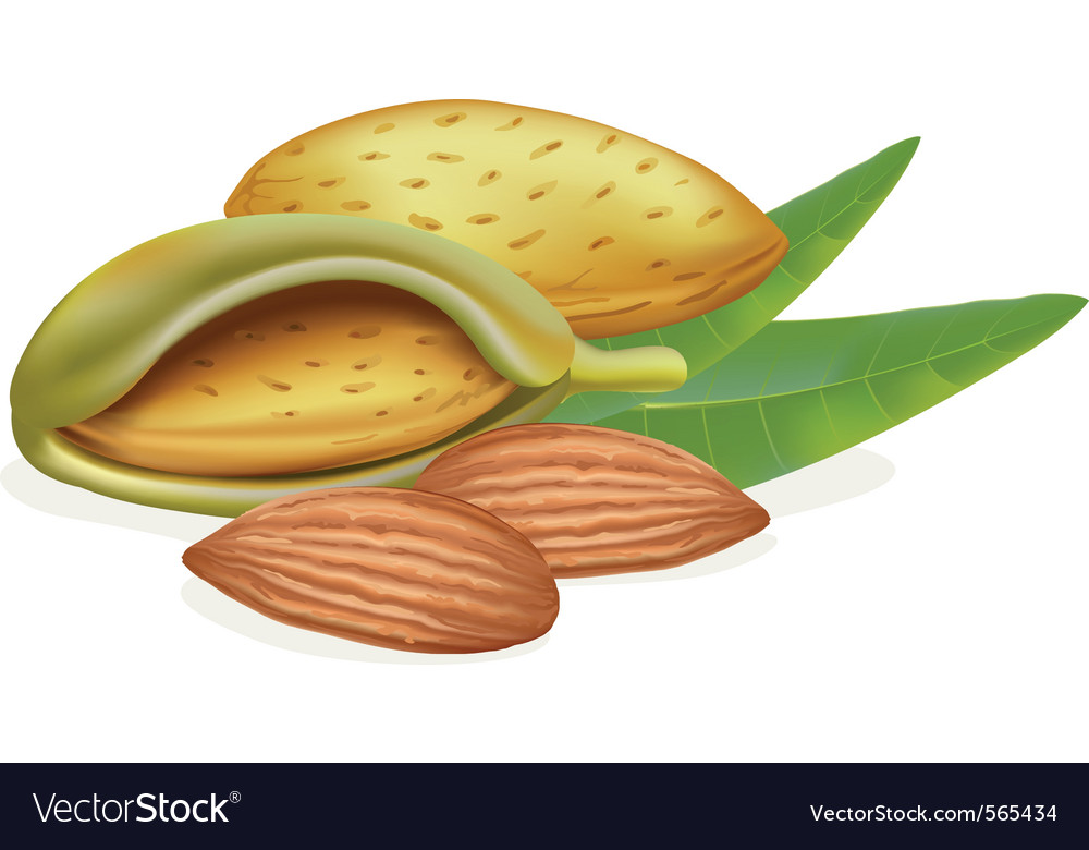 Ripe almonds vector image