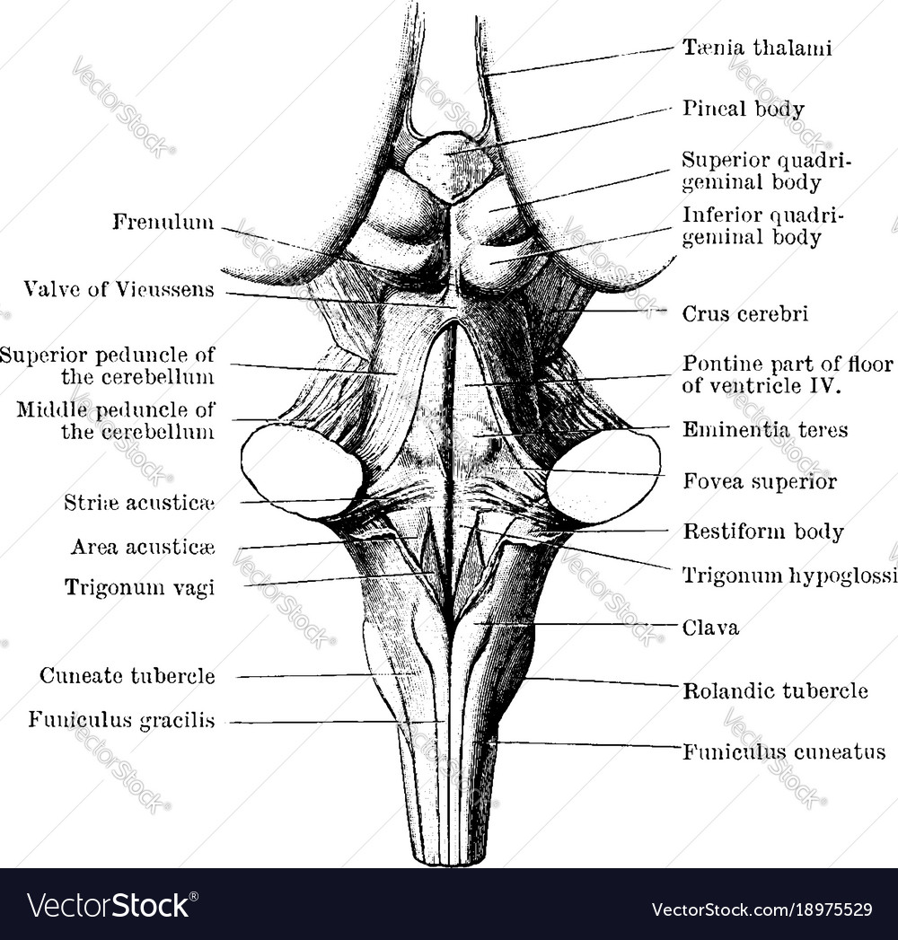 Back View Of Medulla Pons And Mesencephalon Vector Image