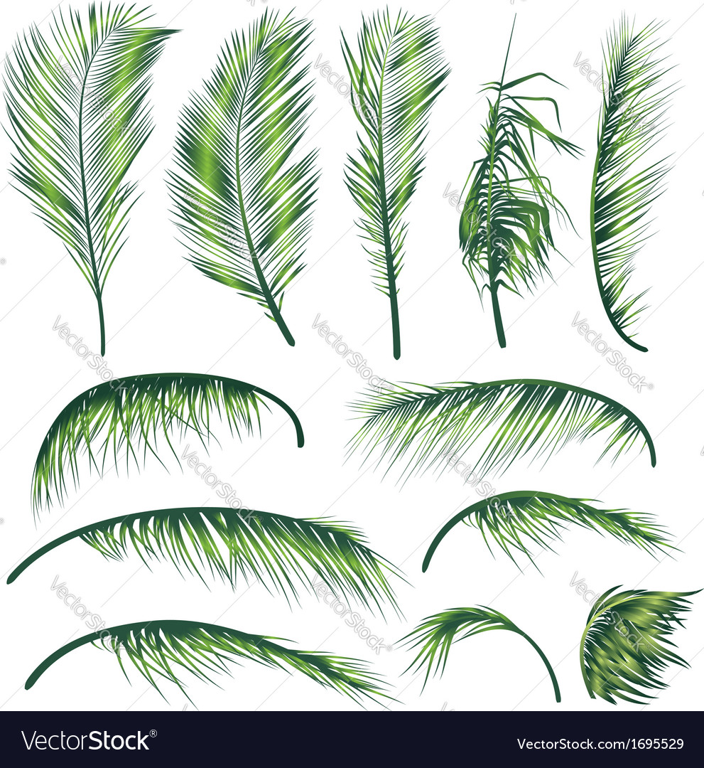 Palm Tree Leaves Royalty Free Vector Image Vectorstock