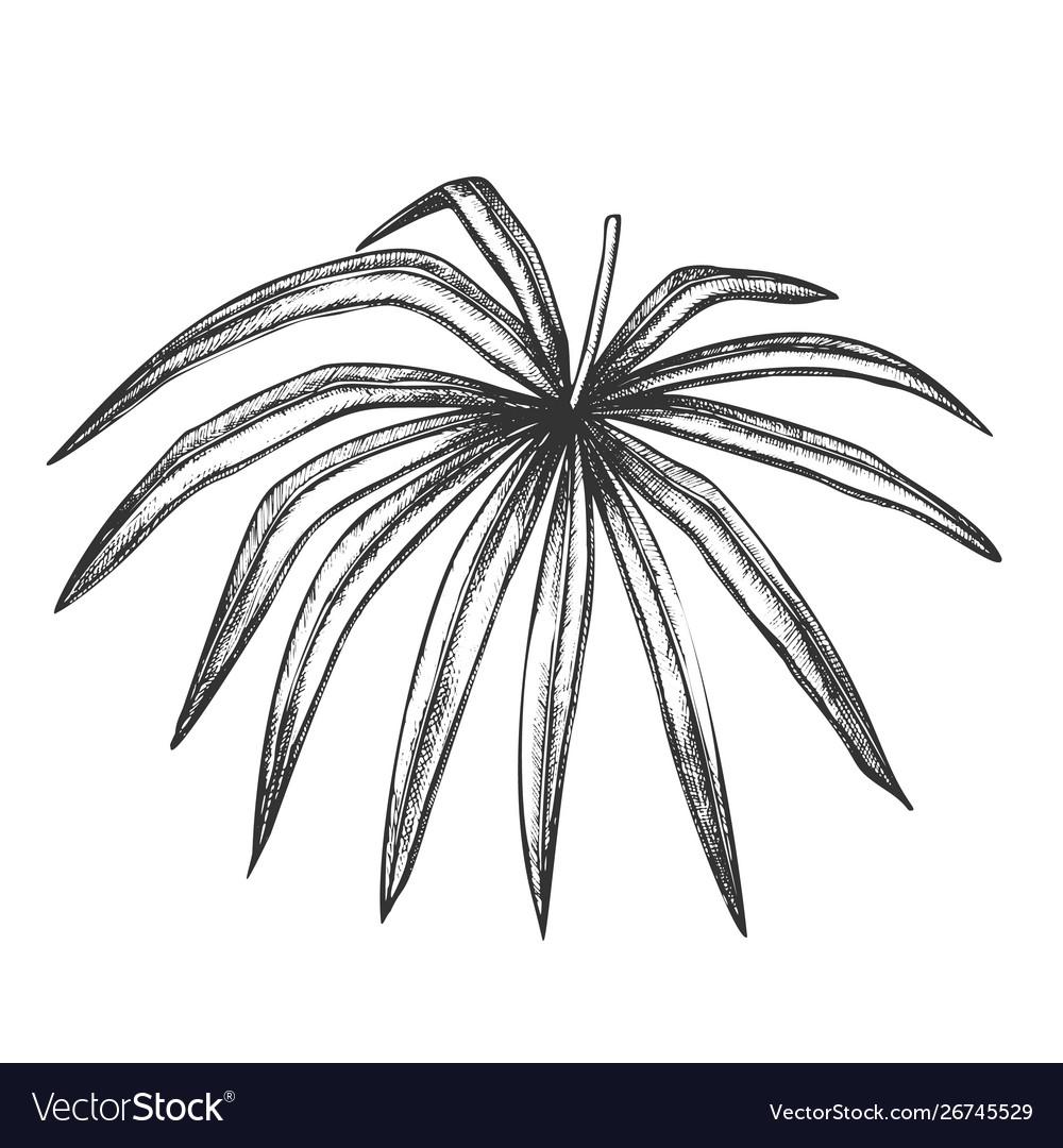Thrinax radiata exotic leaf hand drawn