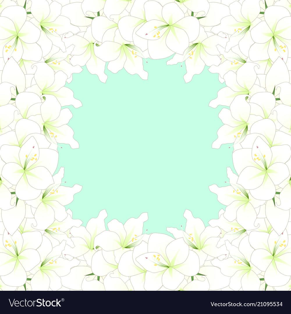 White amaryllis border