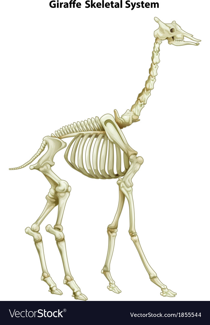 Ungulate Bones Skeletal system of a g...