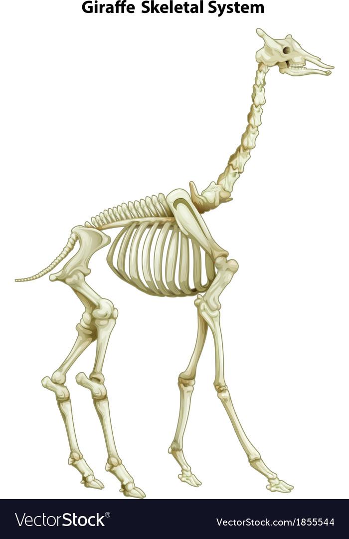 Skeletal System Of A Giraffe Royalty Free Vector Image