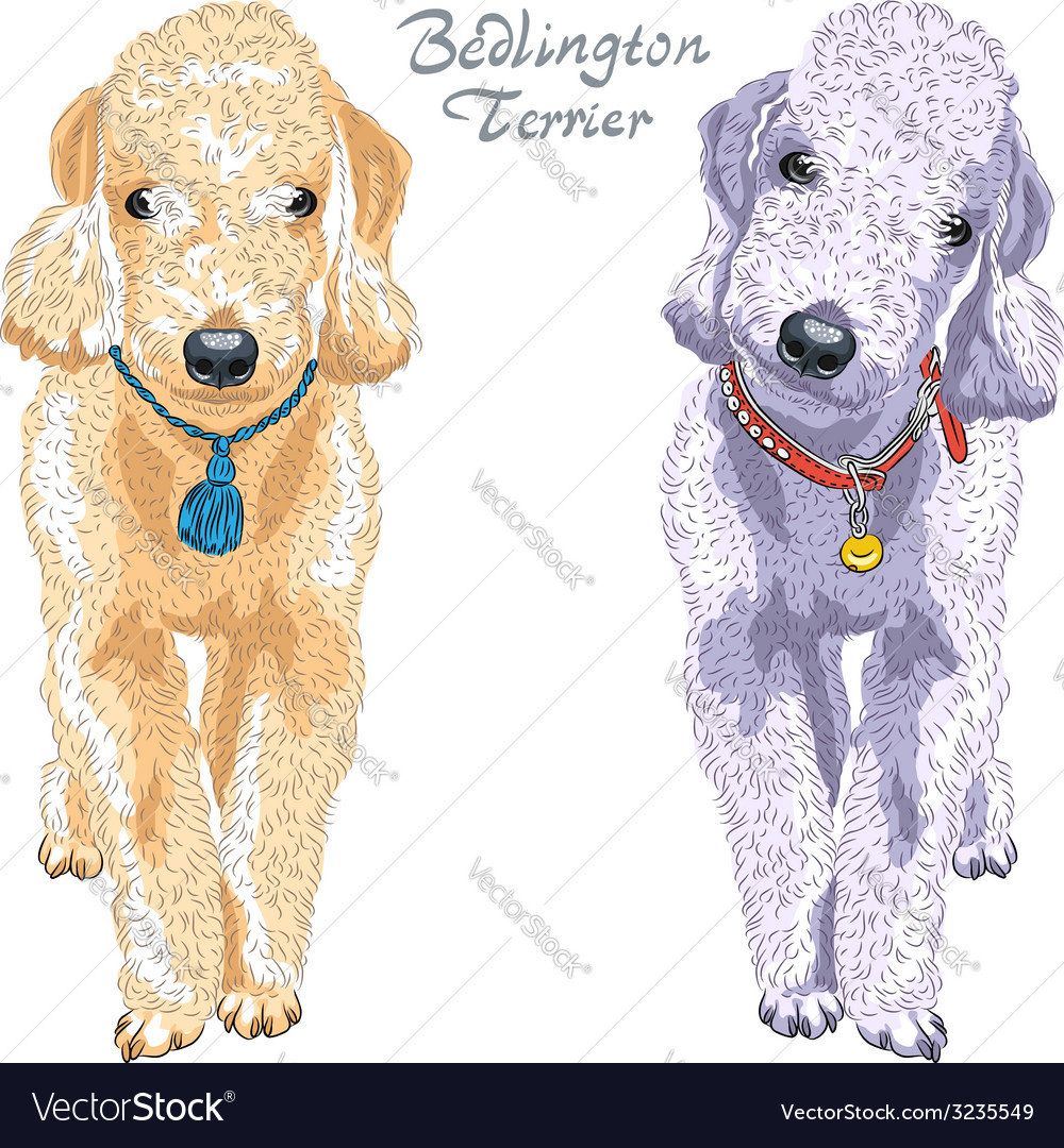 Two dogs Bedlington Terrier breed vector image