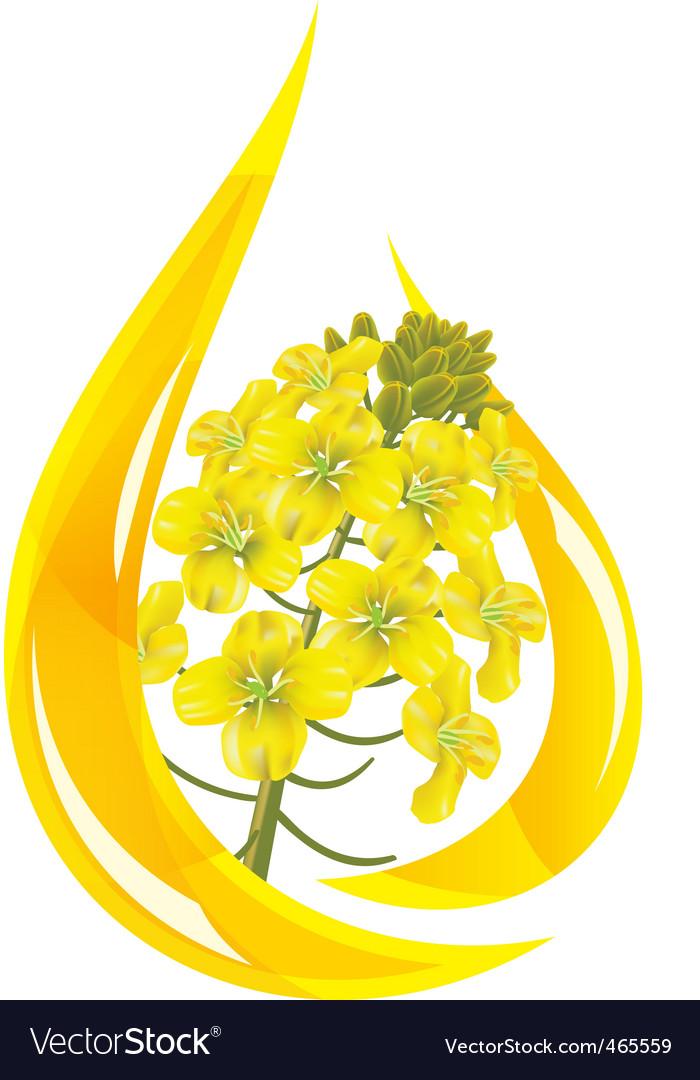 Canola oil vector image