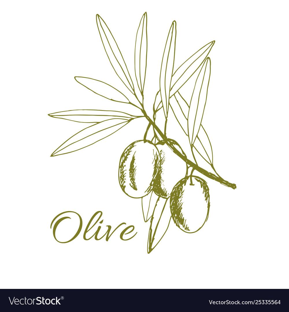 Branch olives sketch