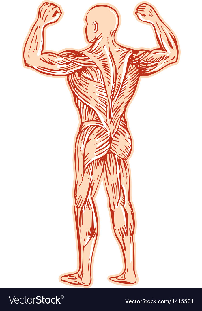 Human Muscular System Anatomy Etching Royalty Free Vector