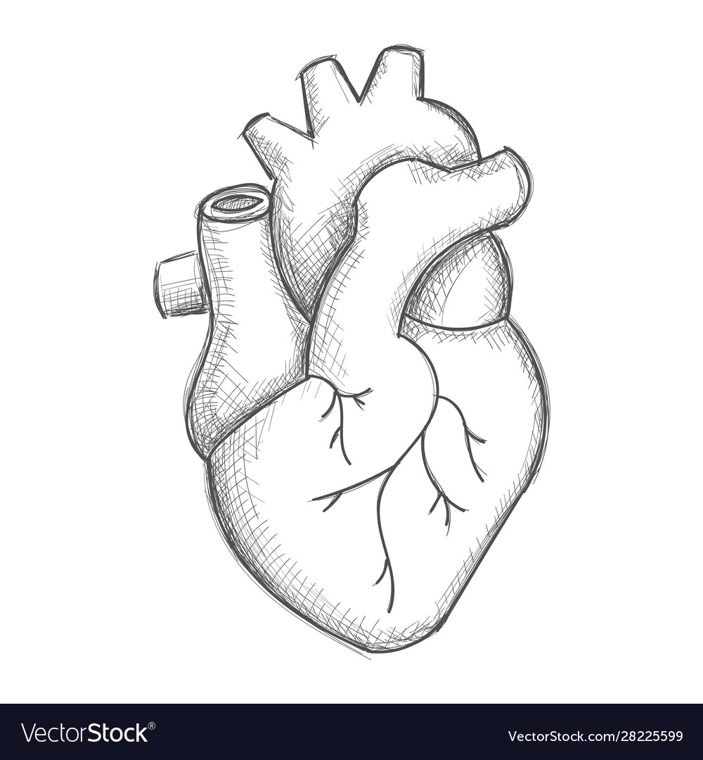Hand draw human heart sketch Royalty Free Vector Image