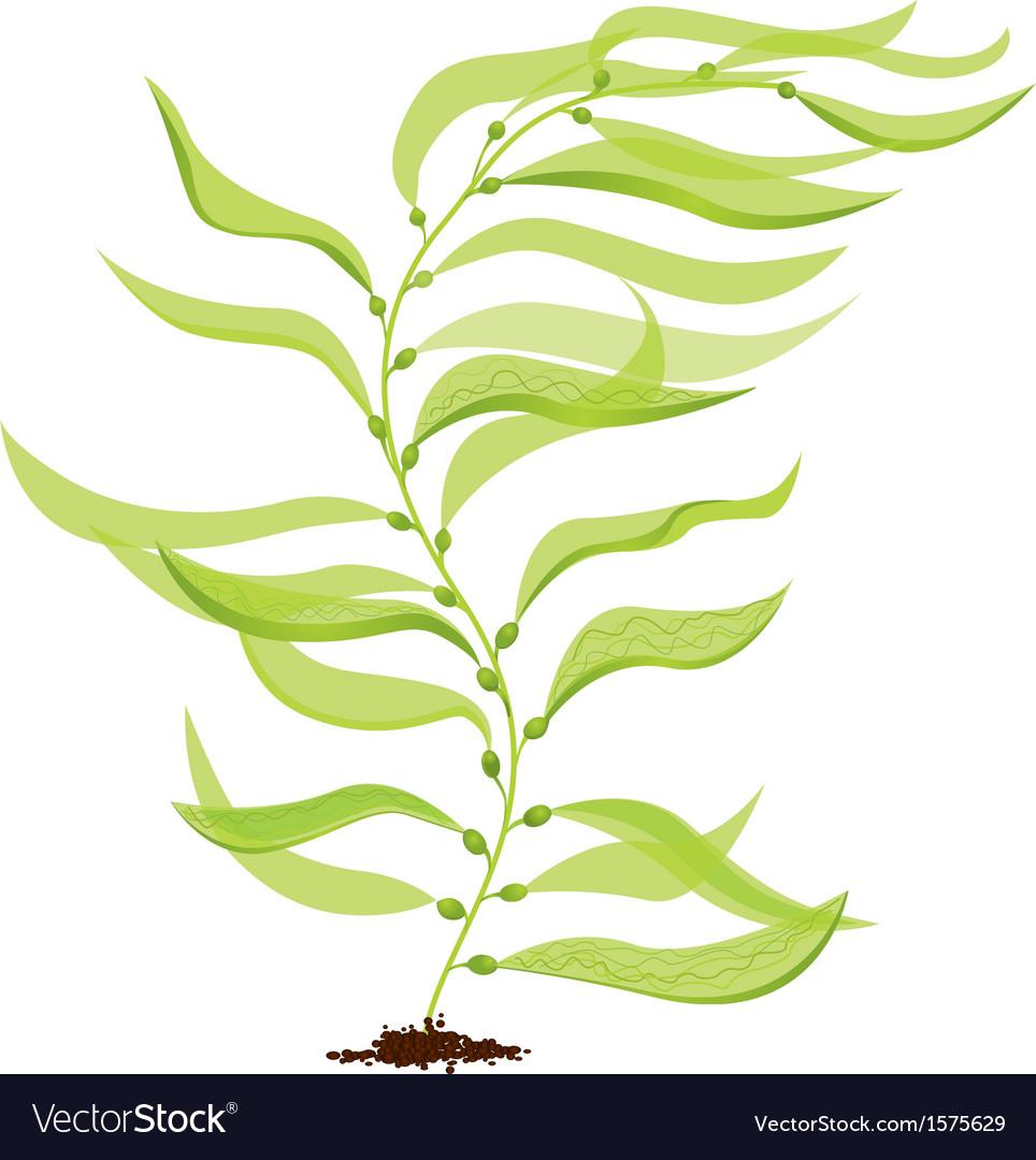 Giant kelp vector image