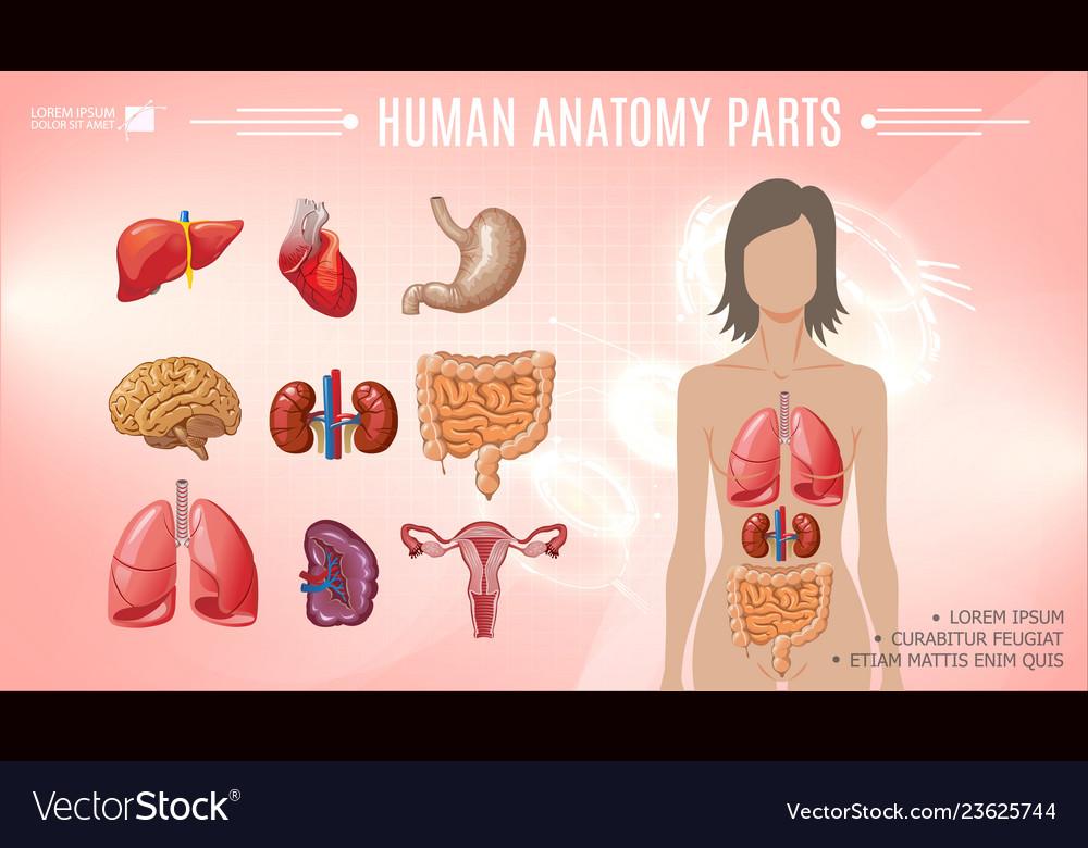 Cartoon human anatomy bright template