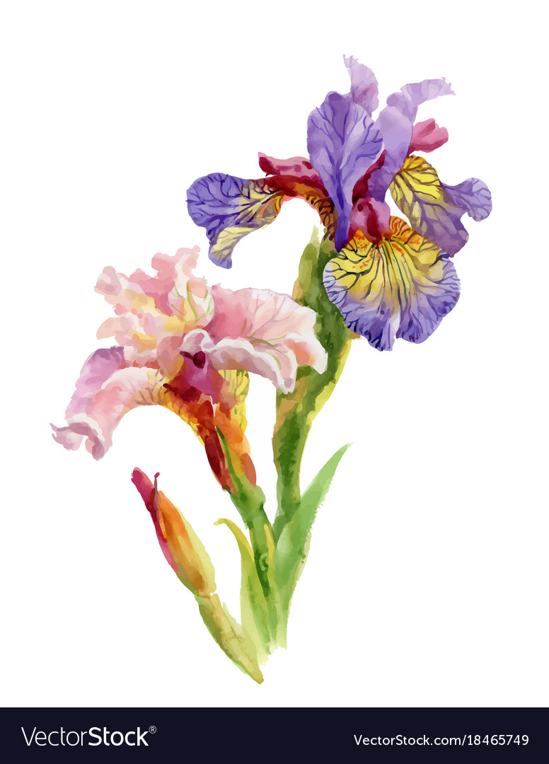 Hand Drawn Iris Flowers On White Background Vector Image