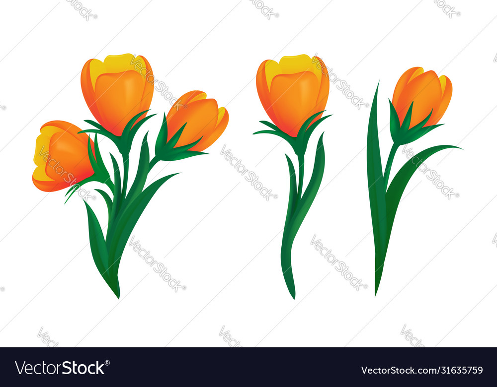 Set blooming orange tulips with green leaves