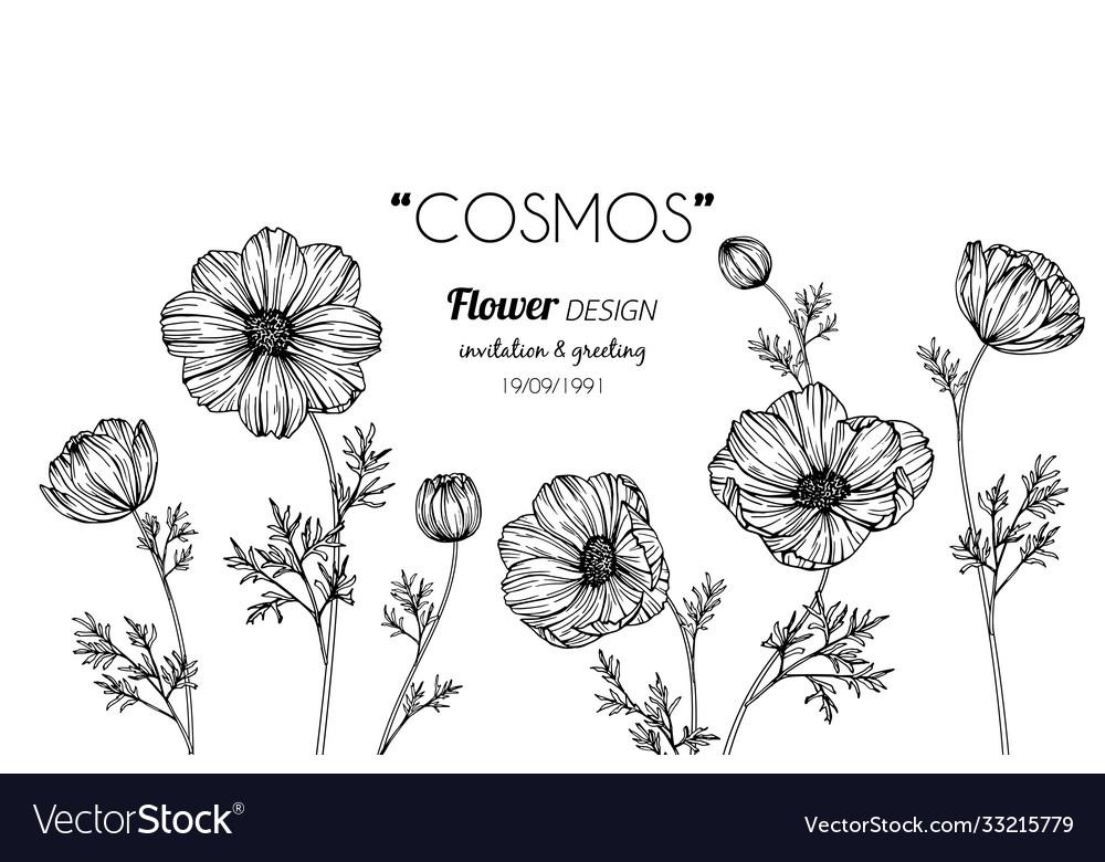 Cosmos flower and leaf hand drawn botanical