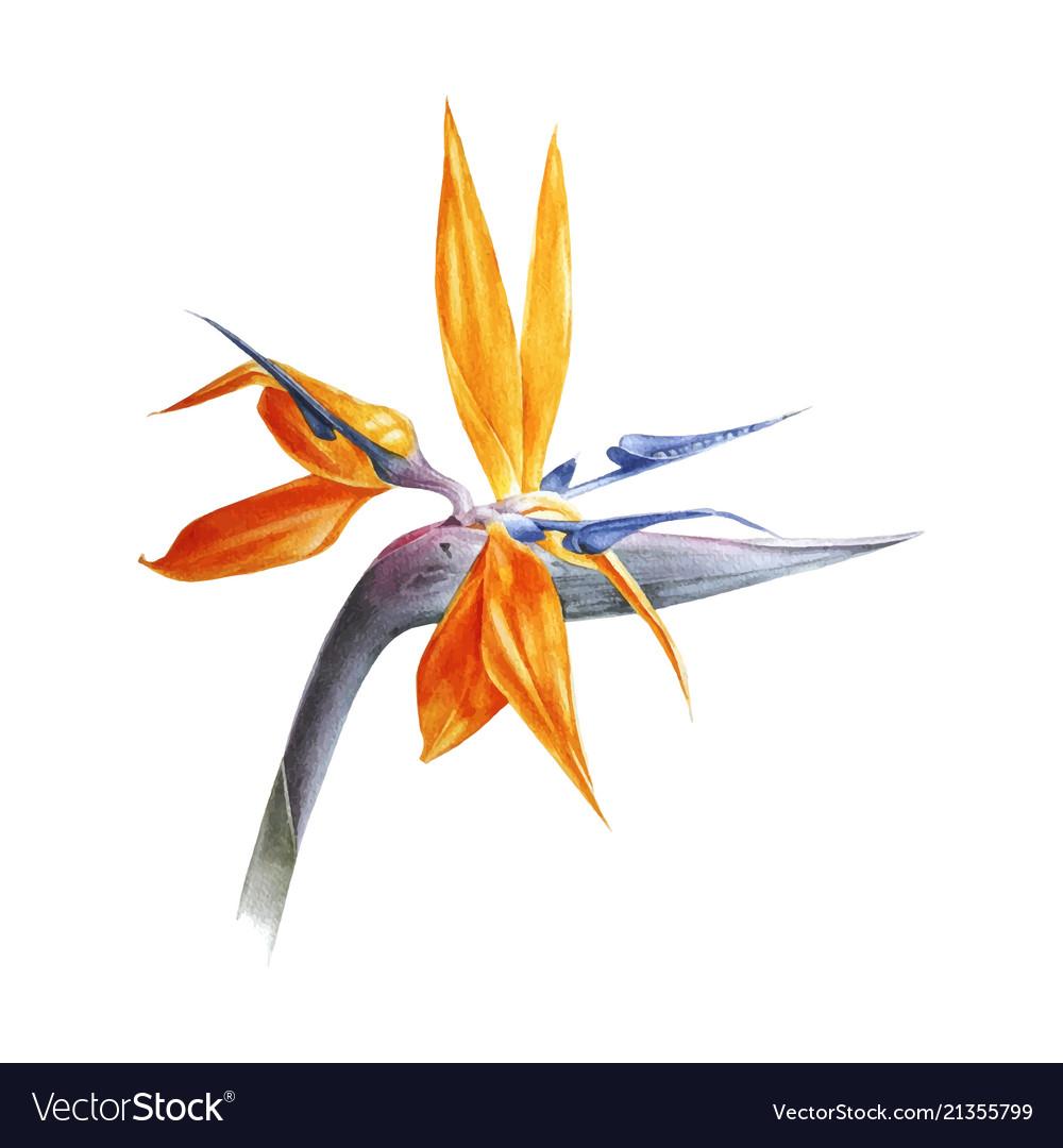 Watercolor bird of paradise flower