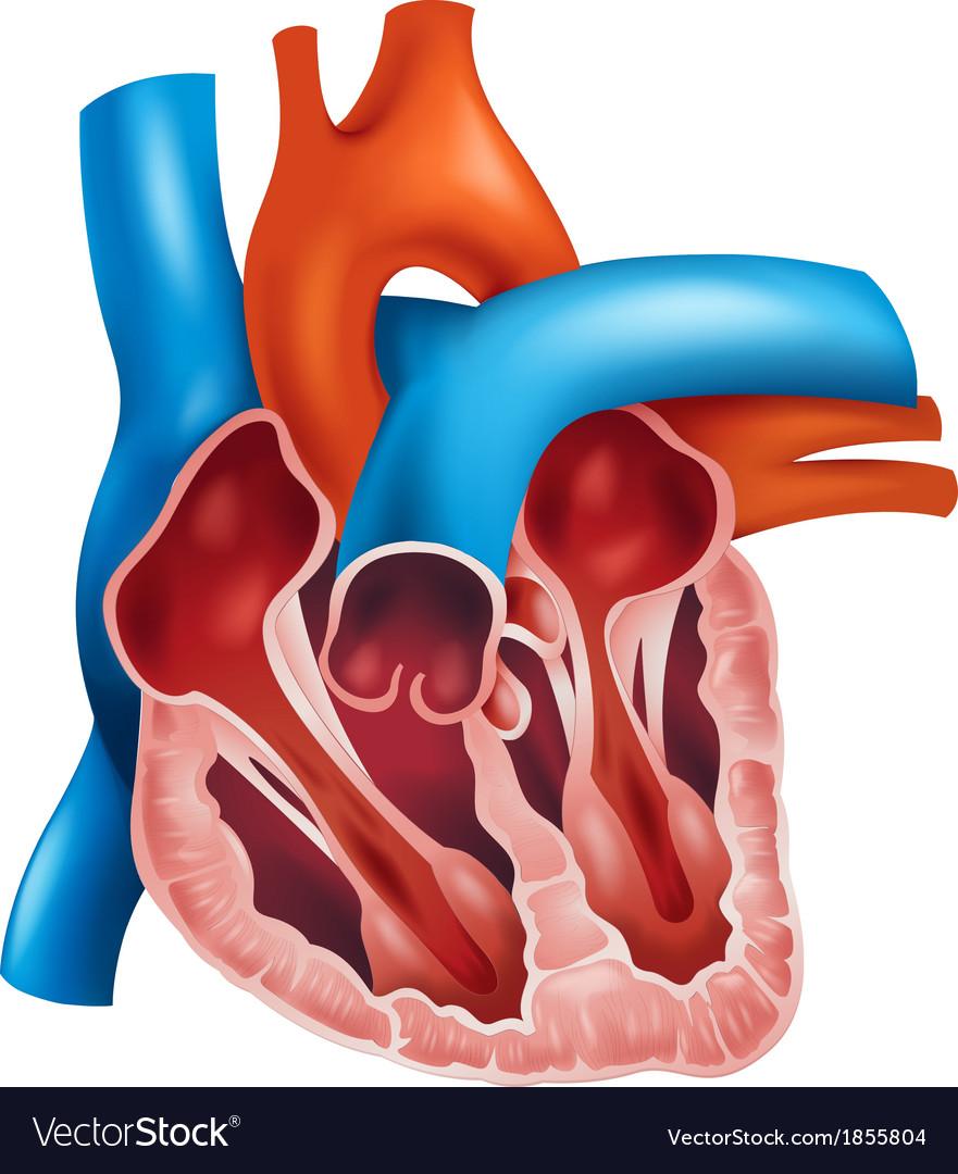 Heart cross-section Royalty Free Vector Image - VectorStock