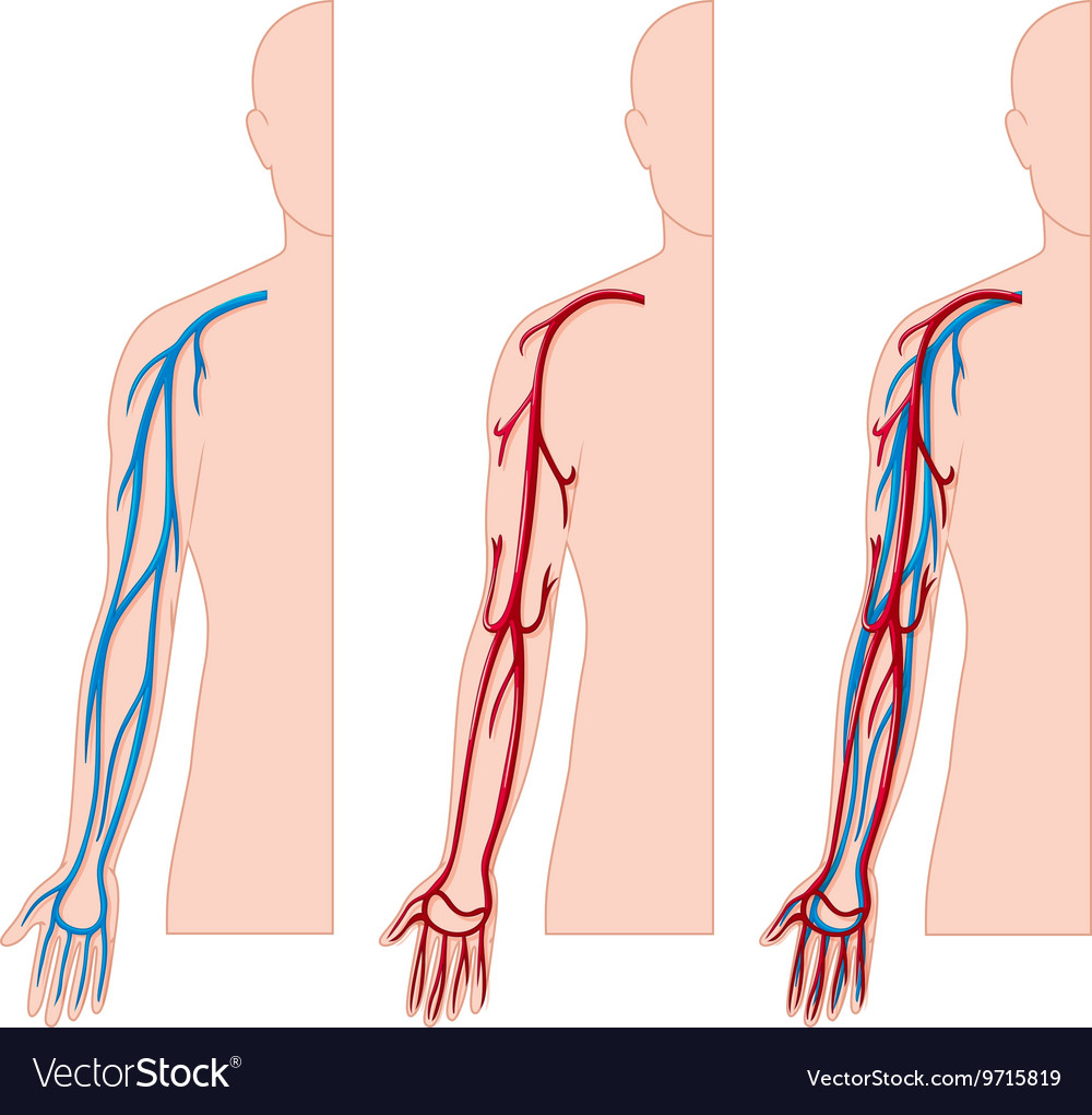Blood Vessels In Human Hand Royalty Free Vector Image