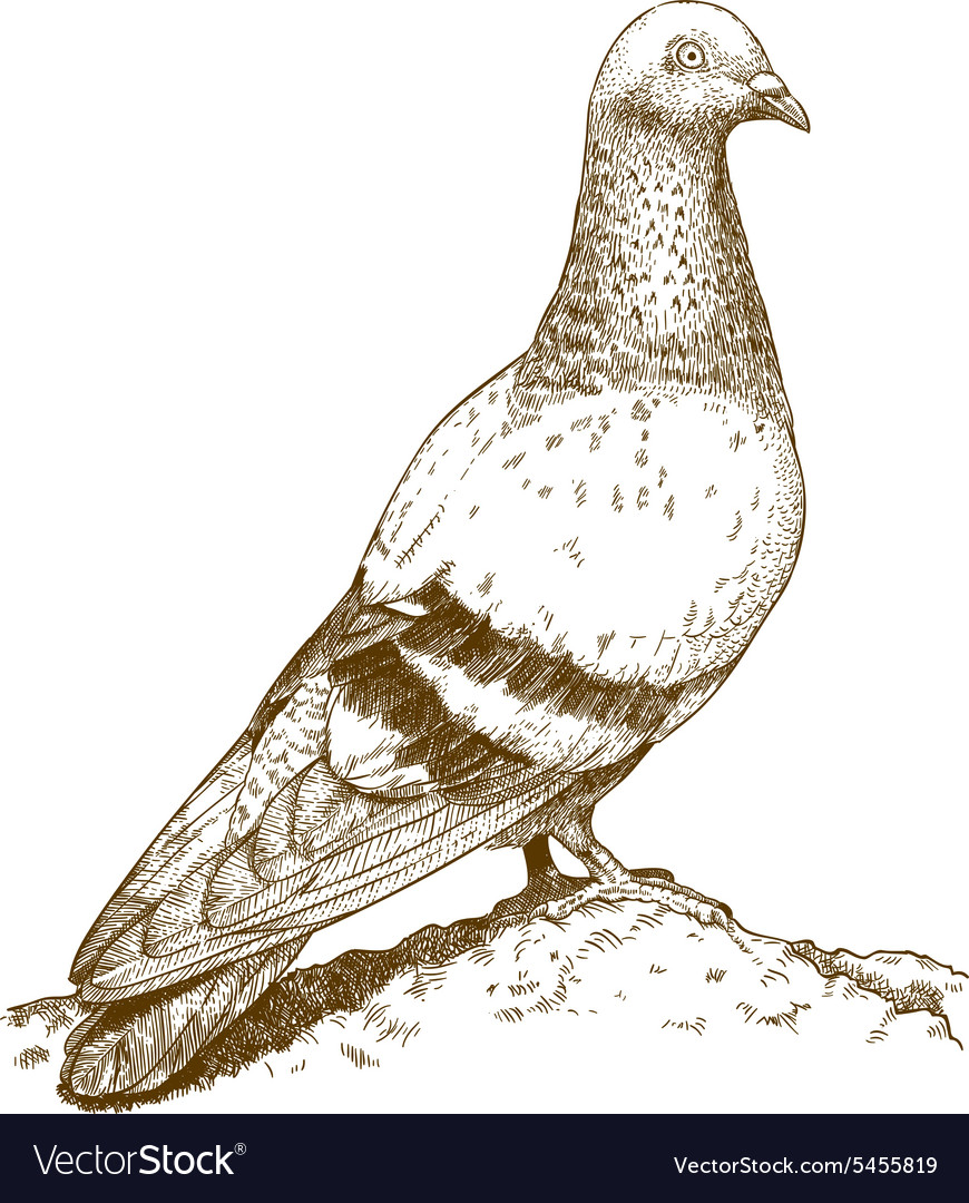 Engraving pigeon vector image