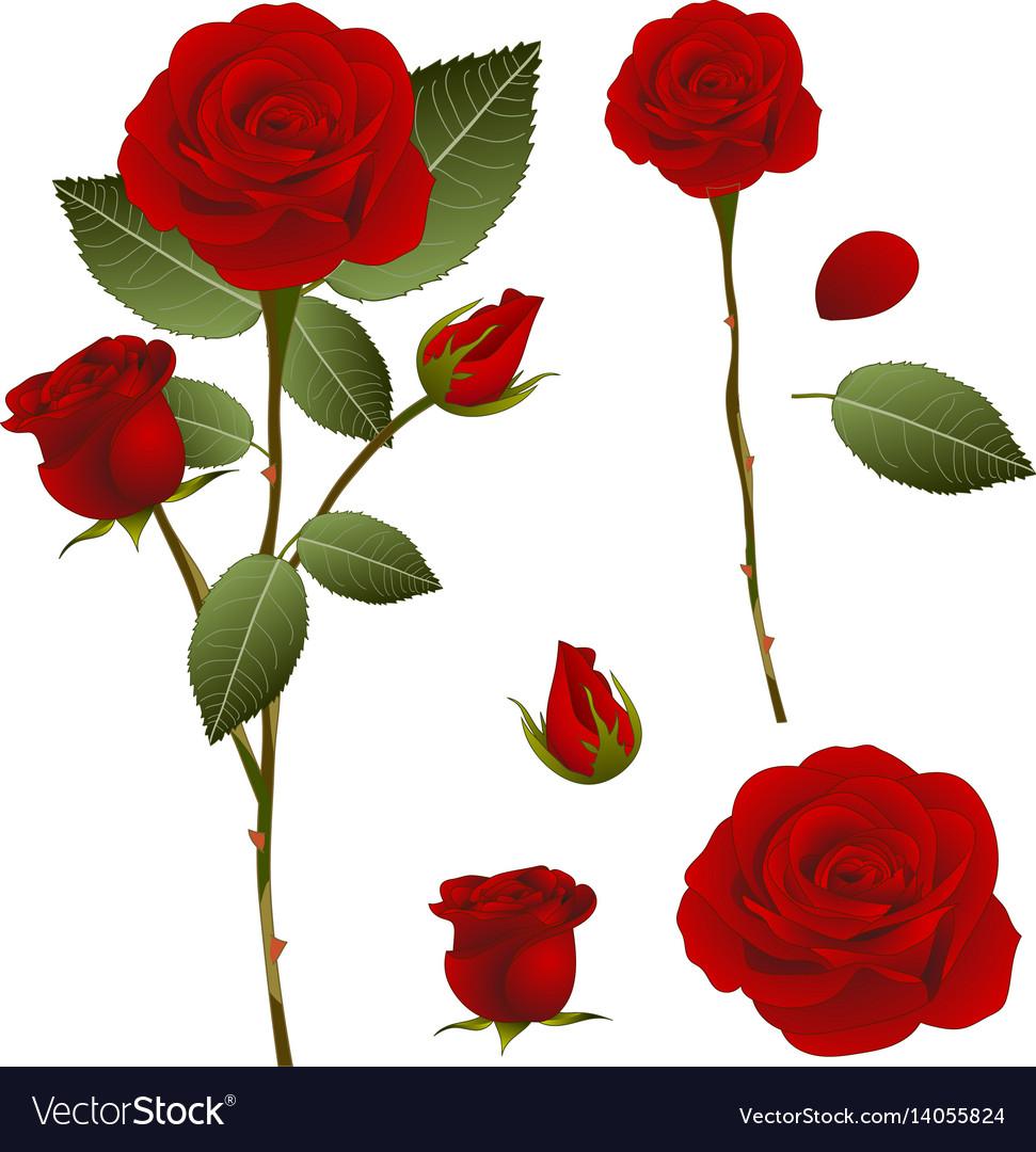 Beautiful red rose rosa valentine day royalty free vector beautiful red rose rosa valentine day vector image izmirmasajfo