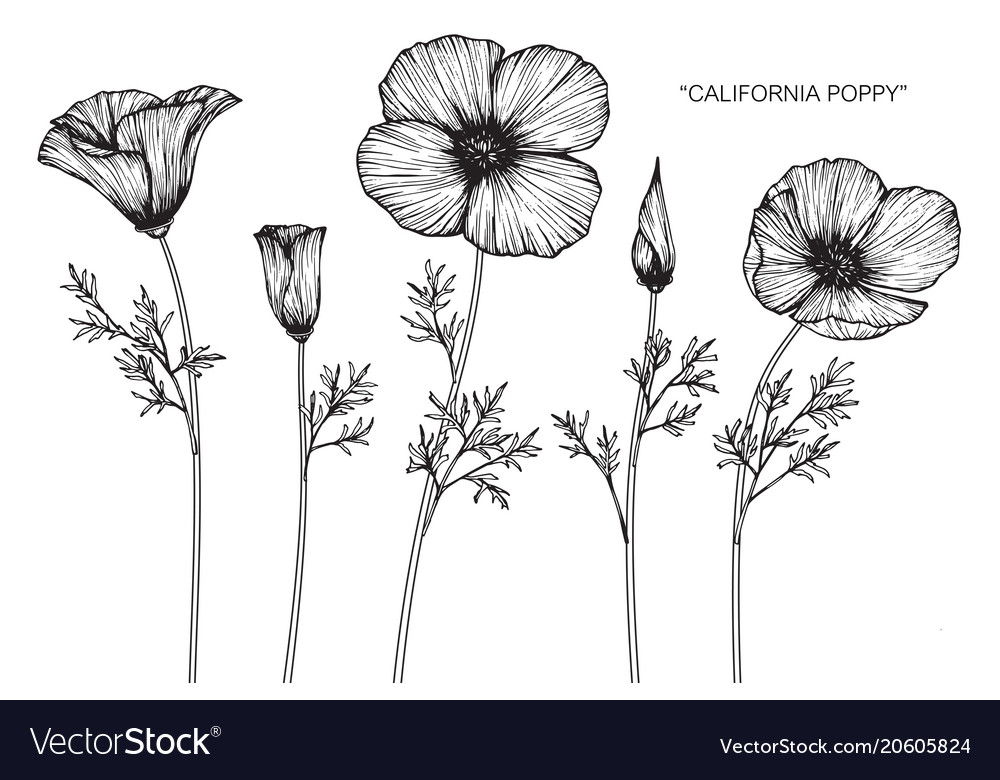 California poppy flower drawing royalty free vector image california poppy flower drawing vector image mightylinksfo
