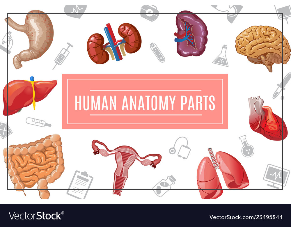 Cartoon human body organs concept