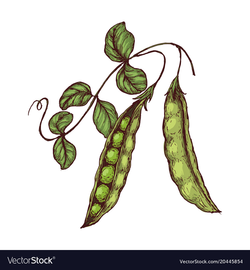 Hand drawn sketch peas with leafs farm fresh