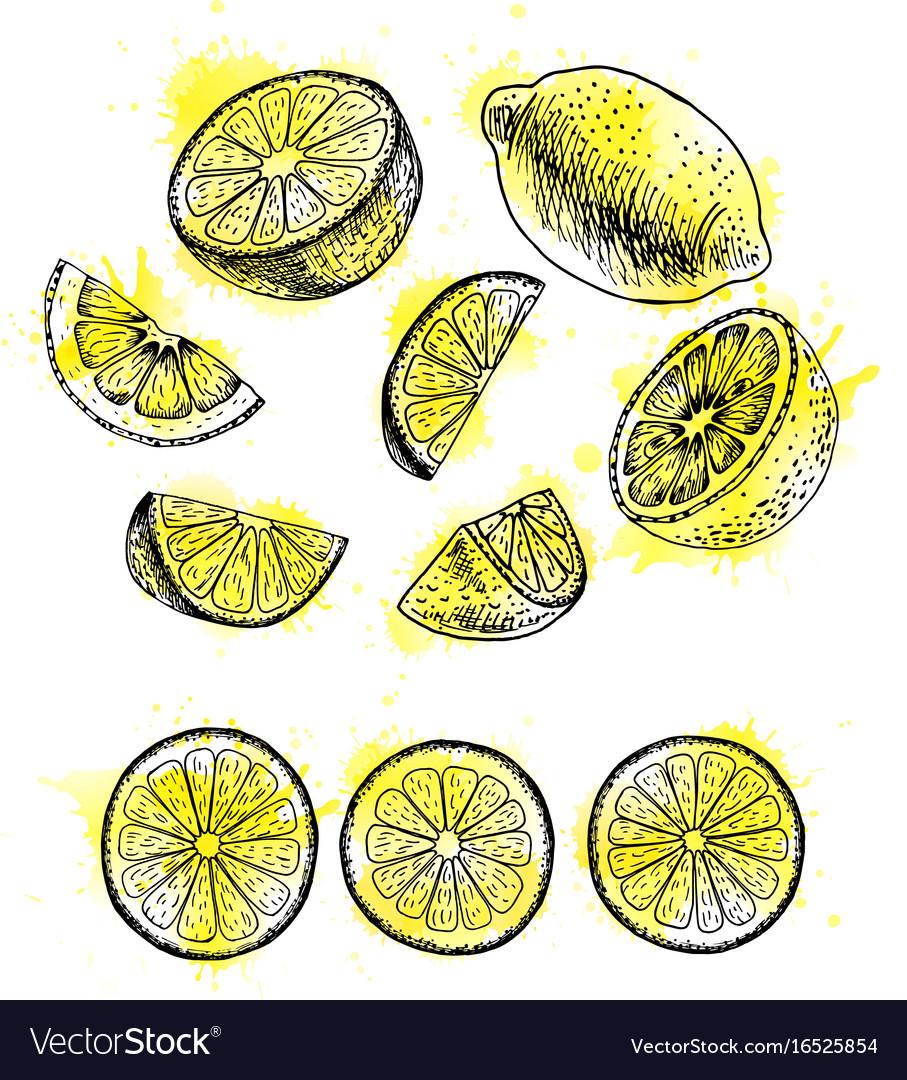 Watercolor hand drawn set of lemon sketch