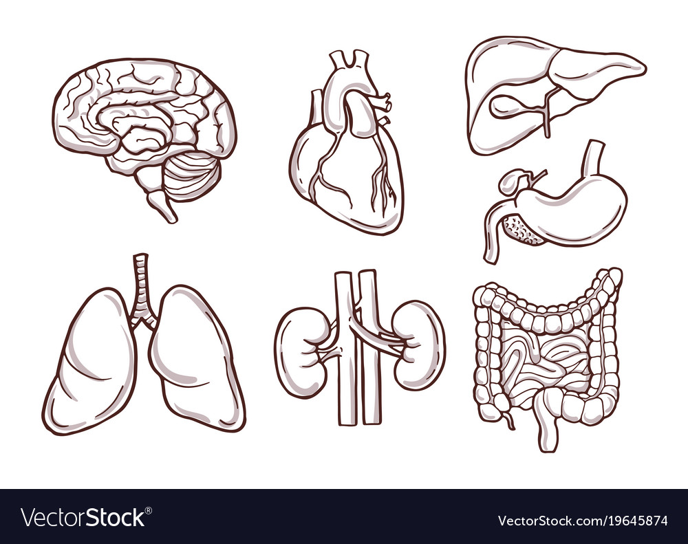 Hand drawn of human organs medical