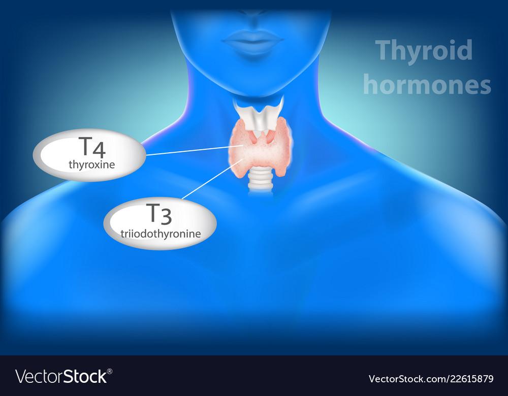 Thyroid Gland Anatomy Thyroid Hormones Royalty Free Vector