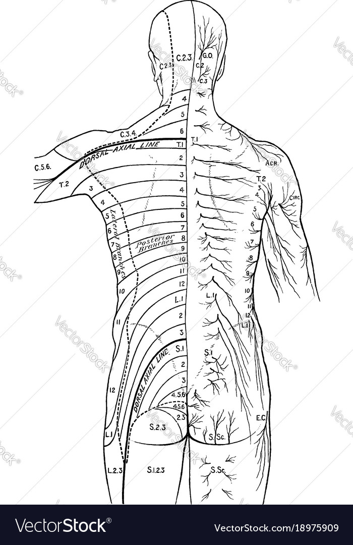 Distribution Of Cutaneous Nerves On The Back Vector Image
