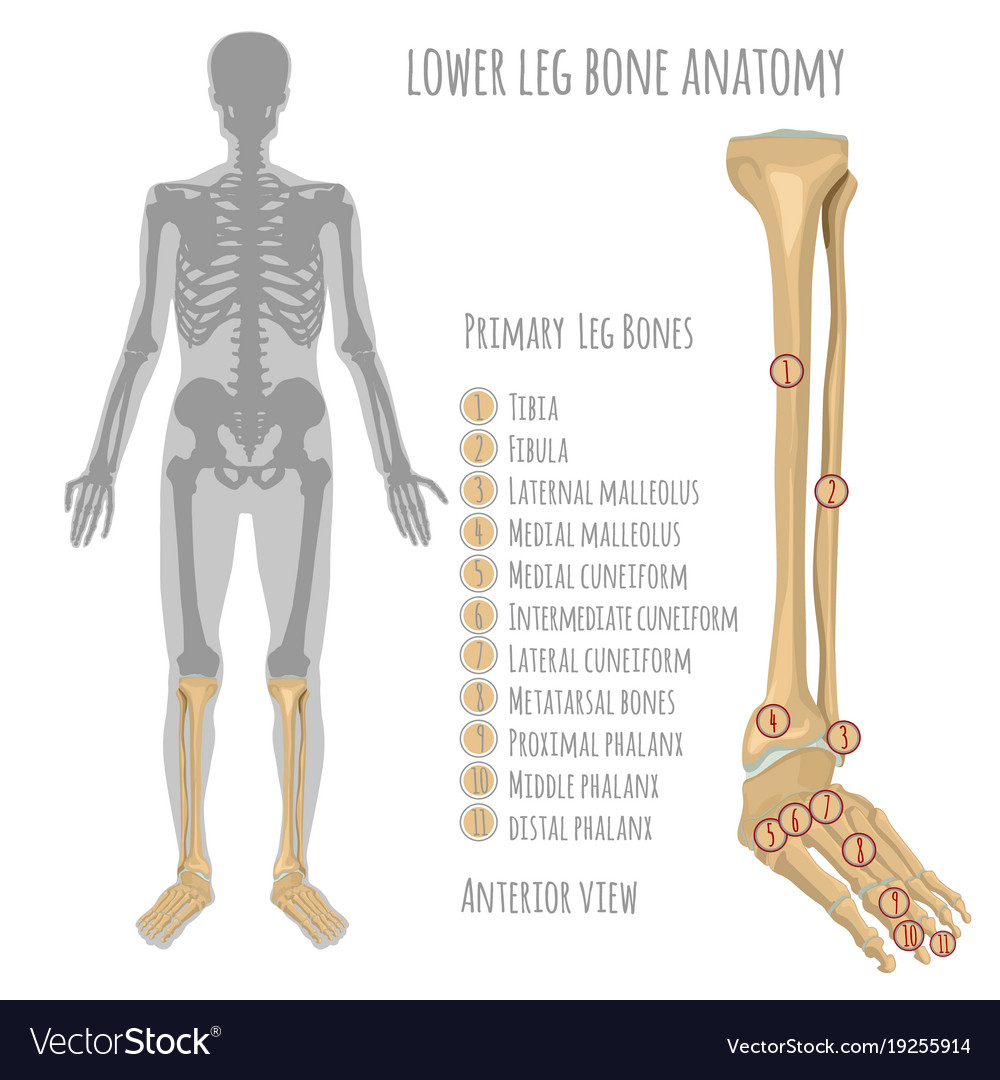 Lower Leg Bone Anatomy Royalty Free Vector Image